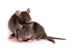 Two rats Stock Images
