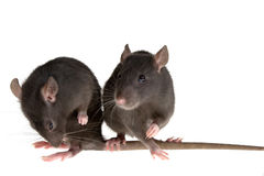 Two rats Stock Photo