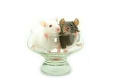 Two rats Stock Photography