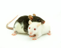 Two rats Stock Photos