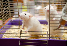 Two rats Royalty Free Stock Images
