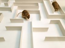Two rats are in different parts of the white maze.  royalty free stock photo
