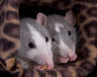 Two rats eating Royalty Free Stock Photos
