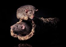 Two rats on a fallen tree trunk. Two agouti rats sitting on a fallen tree trunk -  on black background Stock Images