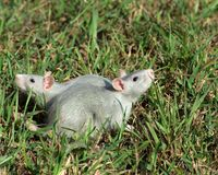Two rats on the grass. Looking at the opposite sides Royalty Free Stock Photo