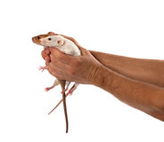 Two rats in human outstretched hands royalty free stock photography