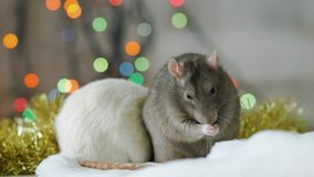 Two rats with sparkling garland at the background. Portrait of two gray and white rats with sparkling garland at the background. Gray cute rat washes with it stock video footage