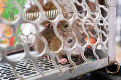 Two rats were caught in the trap cage Royalty Free Stock Images