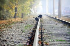 Two raven on the rails Stock Image
