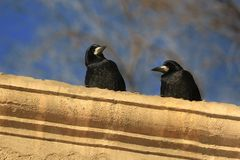 Two ravens Royalty Free Stock Photo
