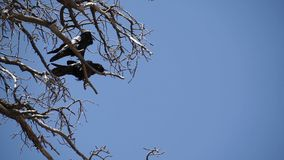 Two Ravens in Bryce National Park (3 of 3) stock video footage
