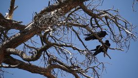 Two Ravens in Bryce National Park (1 of 3) stock video footage