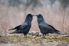 Two Ravens Royalty Free Stock Photos