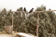 Two ravens crows birds sitting crossbar, Nepal forest. Royalty Free Stock Photos