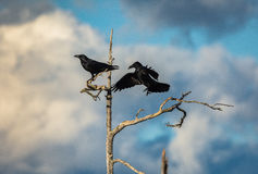 Two ravens in a dead tree Royalty Free Stock Photo