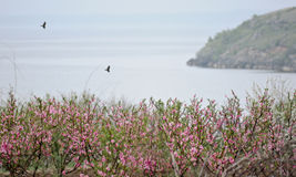 Two ravens fly over peach garden by the sea. Two crow flying over a flowering peach garden by the sea royalty free stock photo