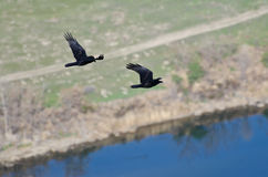 Two Ravens Flying Over the River Royalty Free Stock Images
