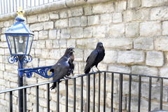 Two Ravens at the Tower of London Royalty Free Stock Photos
