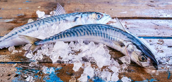 Two raw mackerel fish on crushed ice Stock Photography