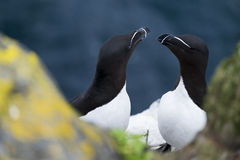Two Razorbills on Papey Island in Iceland with Grass and Rocks Stock Images