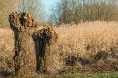 Two pruned pollard willows on a sunny day in winter. Two recently pruned pollard willows on a sunny day in the Dutch winter season. Behind the trees is a wide Stock Photo
