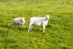 Two recently shorn sheep standing in the grass Stock Photo