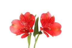 Two red alstroemeria flowers Royalty Free Stock Images