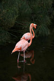 Two red American Flamingos in the lake Royalty Free Stock Photos