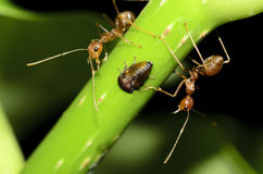 Two red ant and one insect Royalty Free Stock Photography