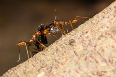 Two red ants carrying food Stock Photography