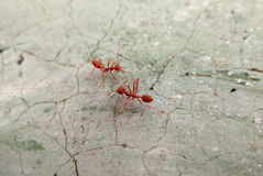 Two red ants on cracked concrete floor Stock Photos