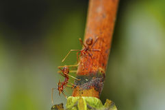 Two red ants Royalty Free Stock Photography
