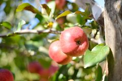 Two red apples on apple tree Royalty Free Stock Photo