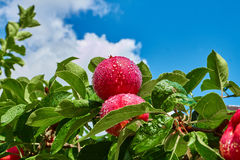 Two red apples on a branch Royalty Free Stock Photography
