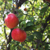 Two red apples on a tree Royalty Free Stock Image