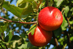 Two red apples on a tree Royalty Free Stock Photos
