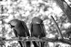 Two red ara parrot outdoor Royalty Free Stock Photography