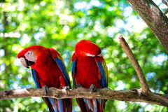 Two red ara parrot outdoor Stock Images