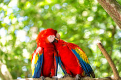 Two red ara parrot outdoor Stock Photography