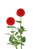 Two Red asteraceae Royalty Free Stock Images