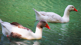 Two red-beak gooses in a pond. Spain Stock Image