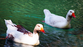 Two red-beak gooses in a pond Stock Images
