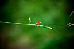 Two red beetle-barbel Stock Photos