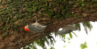 Two Red Bellied Woodpeckers searching for food. Parent and juvenile Red Bellied Woodpeckers hanging upside down look for insects under a live oak limb Royalty Free Stock Images