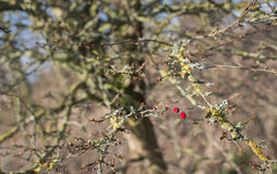 Two red berries on a weathered bush Stock Photo