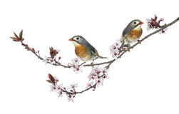 Two Red-billed Leiothrix - Leiothrix lutea - perched on a branch Stock Photography