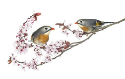 Two Red-billed Leiothrix, Leiothrix lutea, perched on a branch Stock Photography