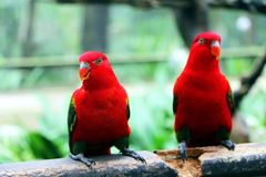Two red birds standing on wood Royalty Free Stock Photography