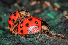 Two red and black ladybugs copulating Stock Photo