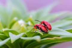 Two red bloody nosed beetle. Are breeding on lily leaves Royalty Free Stock Image